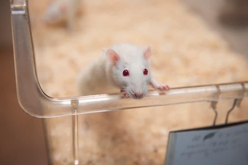 Лабораторная мышь. Фото: МИСиС