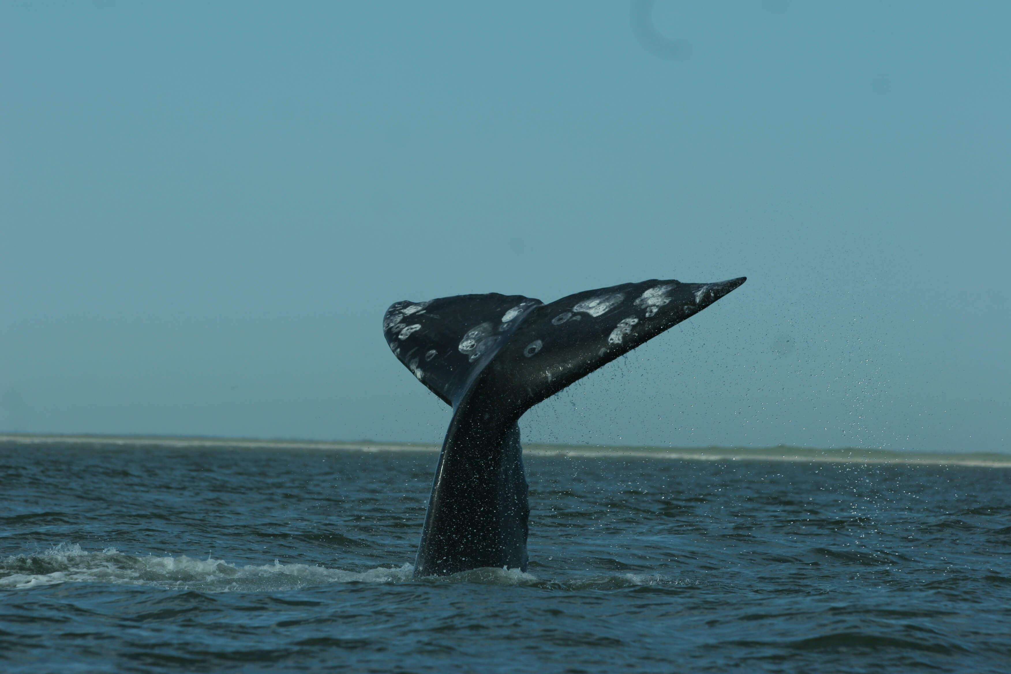 Россия может запретить на полгода вывоз китов и дельфинов